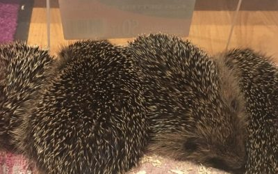 #ImveloGardenProject – Hedgehog Rescue: Part 1